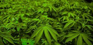 Legalising Marijuana
